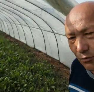 在温室大棚种的菠菜,长得很好