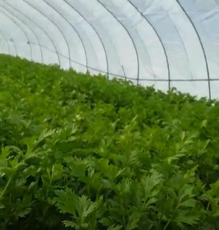 这是芹菜,在大棚里长得很好