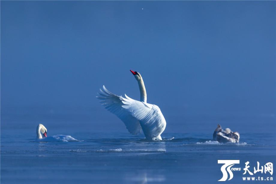 【疆遇风光】福海县:天鹅在乌伦