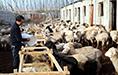 温宿县:养羊走上致富路