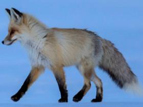 20年摄影展二等奖 赤狐捕食