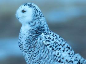新疆天然林保护工作20年摄影展二等奖 雪鸮