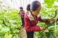 暖棚订单黄瓜助农增收