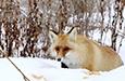 喀纳斯网红小狐狸引围观