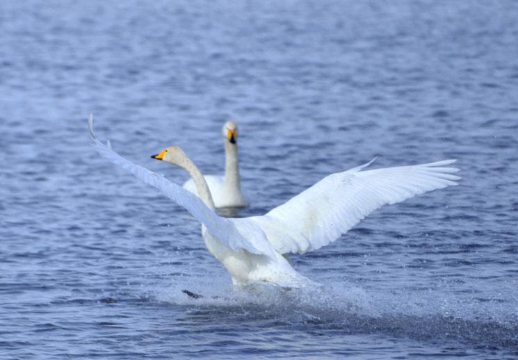 瑪納斯:最美的相遇在天鵝邂逅的冬季
