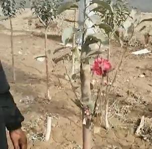 这不是花,是苹果树苗