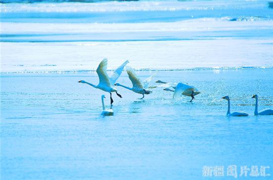 【新疆是个好地方】哈巴河县:天鹅翩翩舞