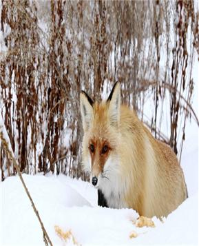 新疆喀纳斯网红小狐狸引游客围观
