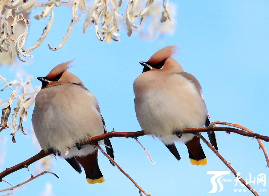 阿勒泰市:太平鸟又来过冬了