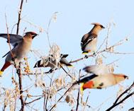 太平鸟又来过冬了