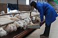 甘肃广河:规模养殖助脱贫