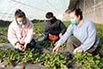 温宿县:草莓订单销售