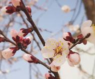 杏花欲与春争艳