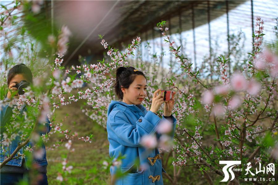 博湖县:桃花朵朵引客来