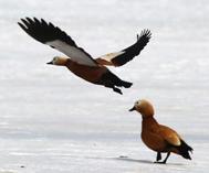 巴里坤县:春日草原候鸟纷飞