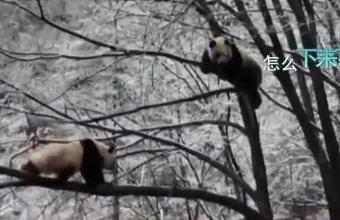 """熊猫界""""女汉子""""和""""软憨憨""""树梢炫技!"""