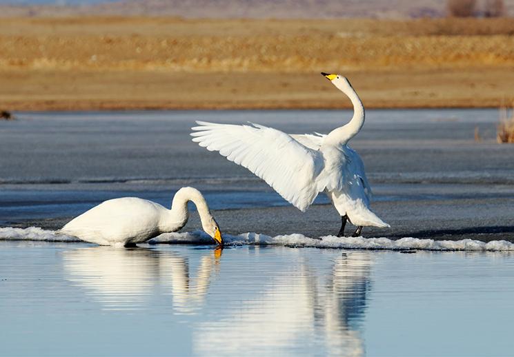 哈巴河县:迎来迁徙白天鹅
