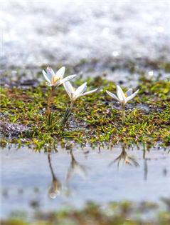 那拉提空中草原顶冰花绽放壮观迷人