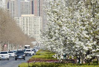 """库尔勒市街头""""观赏""""梨树进入盛花期"""