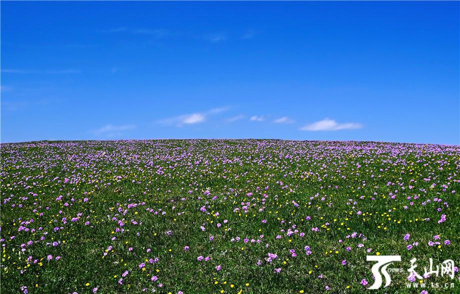 【高清组图】特克斯县:山花铺满阿克塔斯草原