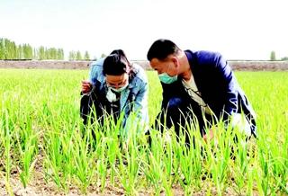 和硕县:引种红皮冬蒜 探索增收之路