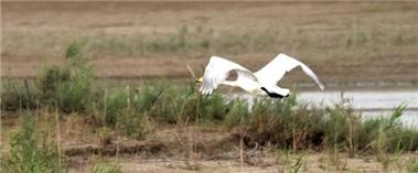 """天鹅在新疆塔里木河湿地""""度夏"""""""