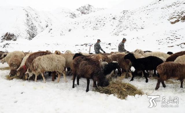 暖心!暴雪来袭羊挨饿,边防战士雪中送草解民忧图1