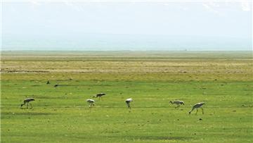 灰鹤嬉戏和静县巴音布鲁克湿地