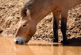 """卡拉麦里""""补水行动"""":新疆帮助野生动物抗旱"""