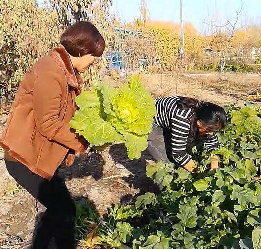 在古丽苏木家的菜园地采摘蔬菜