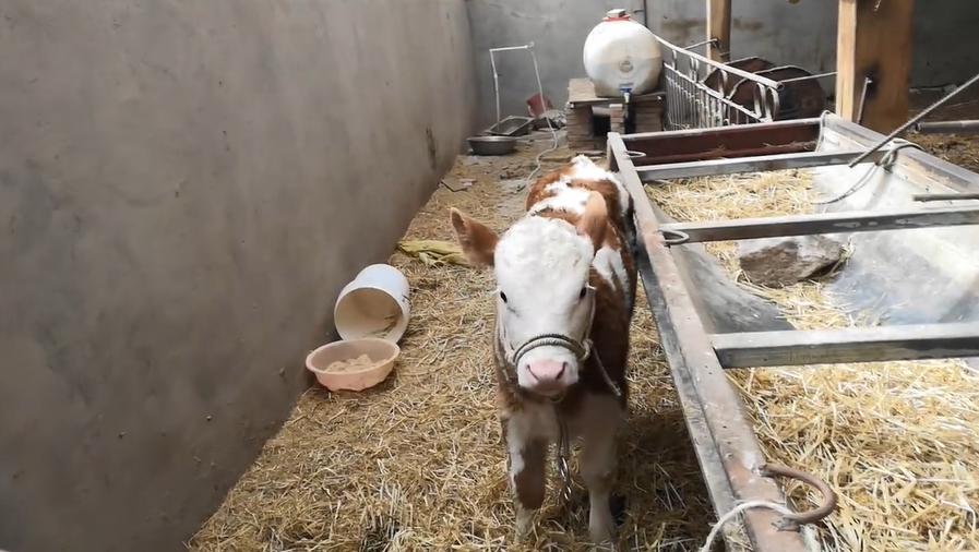 阿力木·阿布都瓦力介绍奶牛养殖情况