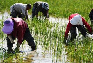 新疆福海县�大面积试种水稻