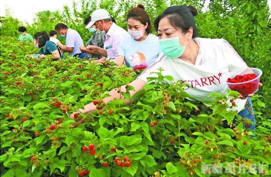 【新疆是个好地方】树莓采摘
