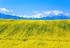新疆:清风吹拂金波涌 油菜花开满地黄
