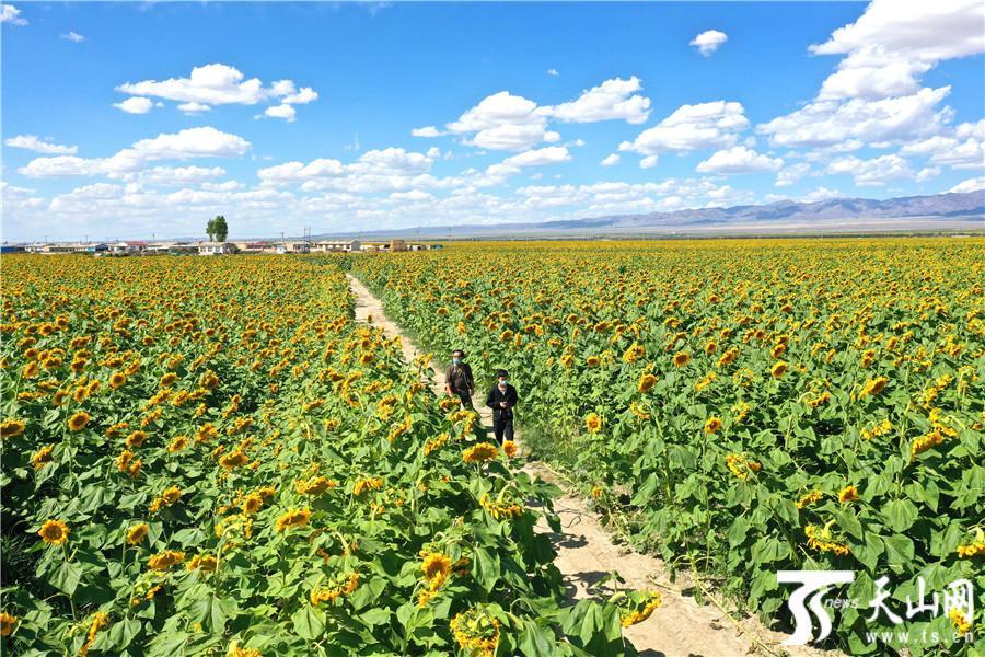 【高清组图】巴里坤县万亩向日葵竞相开放成花海