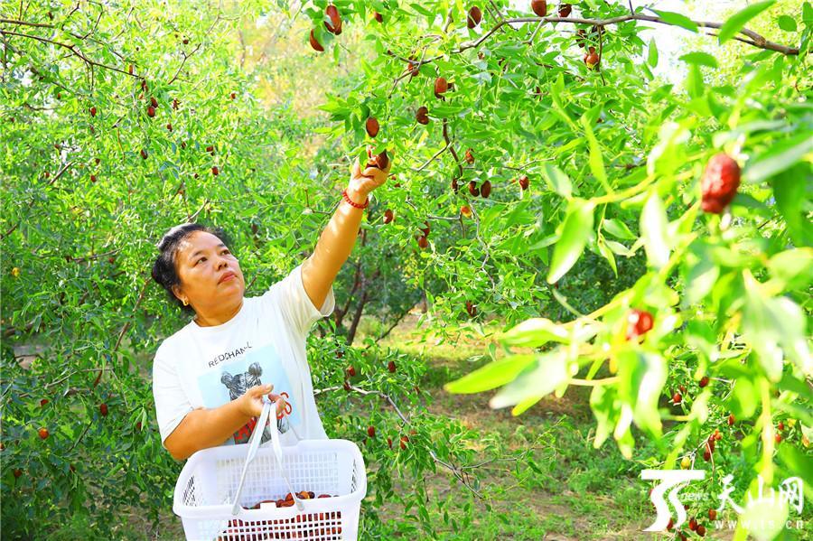 【高清组图】托克逊的红枣熟了