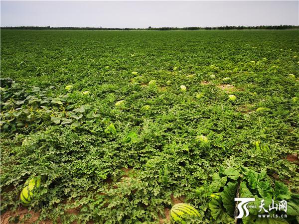 今年95万吨老龙河西瓜全部售出