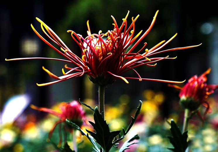 乌鲁木齐市植物园两万余盆菊花敞开看!快来看图识花名