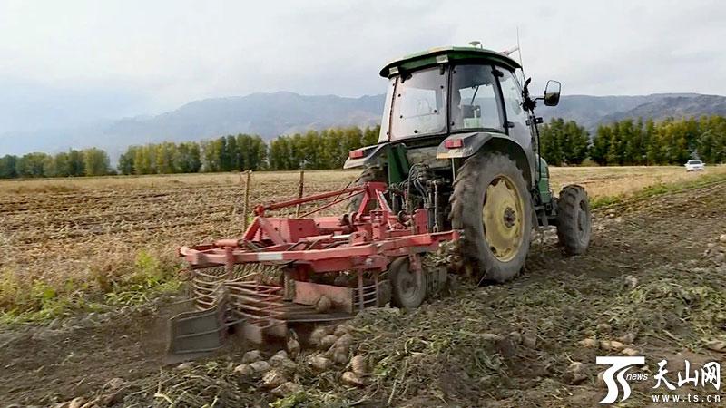 秋之田野丨特克斯县10万余吨甜菜迎来丰收季