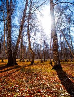 秋之白桦林光与影交织