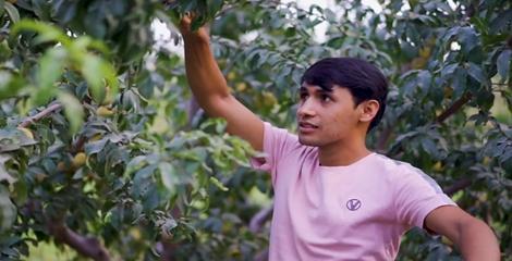努尔买买提和朋友种植了100亩桃树