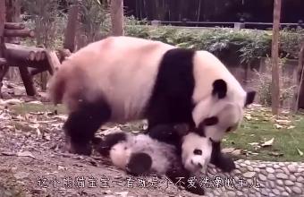 熊猫妈妈:臭小子,快去洗澡!熊猫宝宝:妈妈我还没玩够!