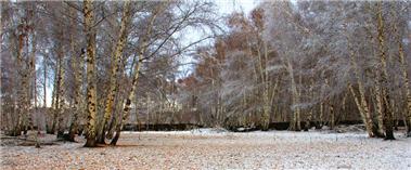 哈巴河:白樺林送你初雪的浪漫