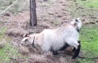 山羊在电网旁吃草,无意碰到电网,接下来请原谅我笑了
