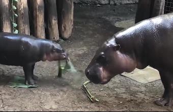 小河马发现妈妈把菜叶吃光了,朝着妈妈发脾气,奶凶奶凶的!