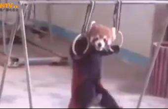 好吃懒做的小熊猫,被饲养员逼着运动