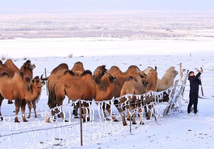 察布查尔:骆驼驿站进入油画般的冰雪世界