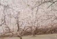春天来了,我和妹妹在妈妈的果园里,花都开了很漂亮