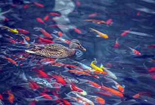 水磨河成为野鸭子越冬福地
