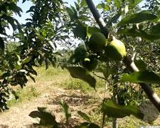这是艾海提家的果园